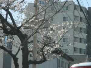 流山橋 桜3/23 1